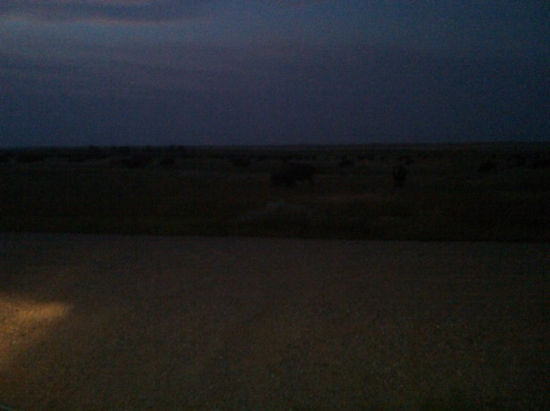 Herd of Buffalo at Dusk