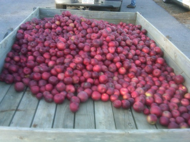 Bushels of Apples Coming Home