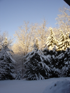 snow covered cypress