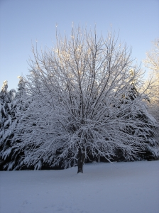 snow covered maple