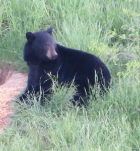 B lack bear in our field