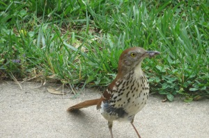 Bird with food on sidewalk june 2013