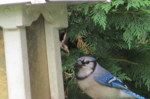 blue jay scores a nut june 2013