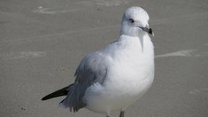 Hilton Head gull up close