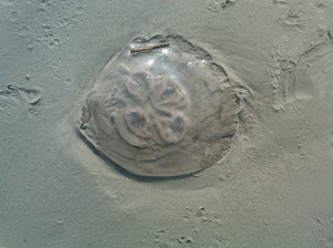 Hilton Head jelly fish