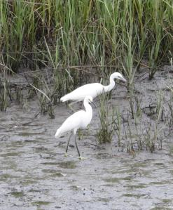 Hilton Head Pinckney Island egrets