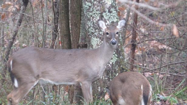 Deer staring at me