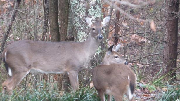 Deer two closeup