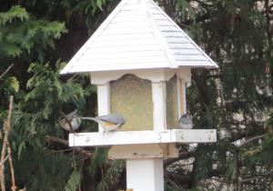 Birds on feeder - fat