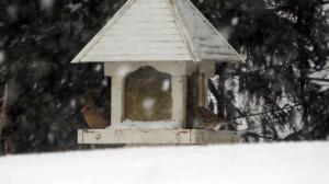 birds on feeder female cardinal