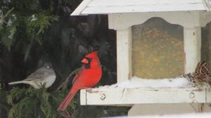 birds with cardinal favorite