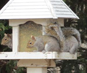 Squirrels filling their tanks.