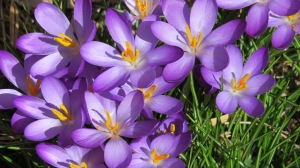 crocus later afternoon 2014
