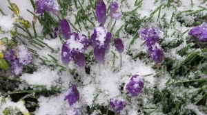 crocus snow covered