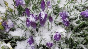 crocus snow covered