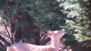 deer eating cypress tree 2014