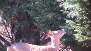deer eating cypress tree 2014