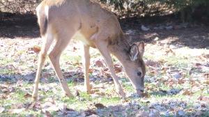 deer nibbling grass 2014