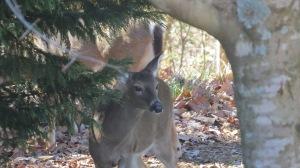 deer sneaking a peek