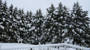 snow covered cypress 2014