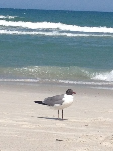 Carolina Beach gull
